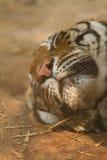 Tigern vänder mot Arkivbild