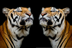 Tigern var lycklig Royaltyfria Bilder