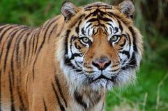 Tigernahaufnahme Stockbild