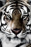 Tigernahaufnahme des Gesichtes lizenzfreie stockbilder