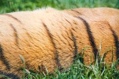 Tigerpälstextur Arkivbild