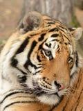 Tigerporträt Lizenzfreie Stockbilder