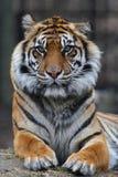 Tigerportrait Lizenzfreies Stockfoto