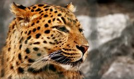 Tigerportrait Lizenzfreie Stockfotografie