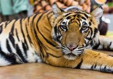 Tigerportrait stockfotos