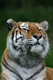 Tigerportrait stockbild
