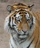 Tigerportrait Стоковое Фото