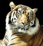 Tigerportrait getrennt auf Schwarzem Lizenzfreie Stockfotos