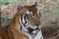 Tigerr Fotografia Stock Libera da Diritti