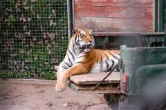 Tigerrest auf Aufnahme lizenzfreies stockbild