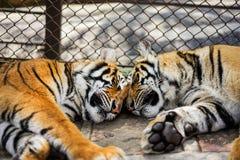 tigersömn i zoo med buren Arkivbild