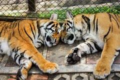 tigersömn i zoo med buren Arkivfoton