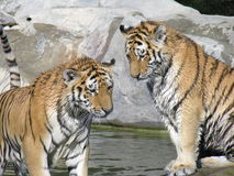 Tigers. Theses tigers lives in a zoo near Toronto Royalty Free Stock Image