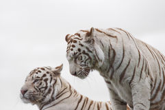 Tigers. White tigers in a safari park stock images