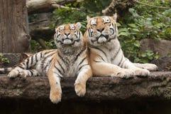 Tigers Stock Photos