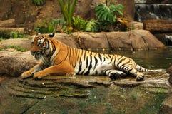 Tigers. Sumatran Tiger in Zoo in Malacca, Malaysia Stock Photography