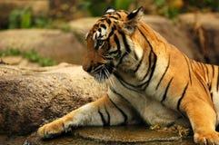 Tigers. Sumatran Tiger in Zoo in Malacca, Malaysia Stock Image