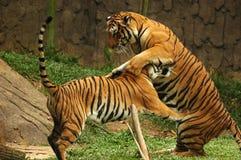 Tigers. Sumatran Tiger in Zoo in Malacca, Malaysia Stock Images