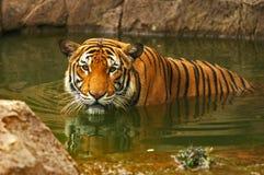 Tigers. Sumatran Tiger in Zoo in Malacca, Malaysia Royalty Free Stock Photo