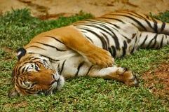 Tigers. Sumatran Tiger in Zoo in Malacca, Malaysia Royalty Free Stock Photos