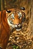 Tigers. Sumatran Tiger in Zoo in Malacca, Malaysia Stock Photos