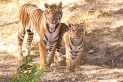 Tigers Royalty Free Stock Photo