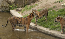 Tigers. The tiger is the largest cat species Stock Photos