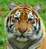 Tigers. Portrait of the Amur Tiger in the summer Stock Photography