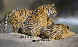 Tigers. Are ambush predators & have to be close to their prey before they strike Stock Image