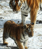 Tigers. The tiger monther is looking after her son Stock Image