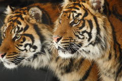 Tigers. These tiger brothers are looking something together seem so serious stock photos