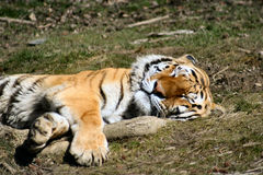 Tigers. Sleeping Time Stock Images