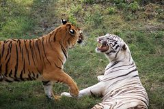 Tigers. Two tigers, having a fight Royalty Free Stock Photography