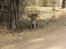 Tigers. Rare photo of two tigers together while mating in bandhavgarh national park, india Stock Photos