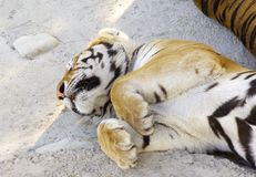 Tigers asleep Stock Photo