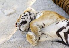 Tigers asleep Stock Photo