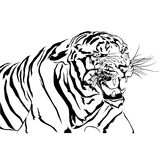 Tigers bared  white background. Stock Photography