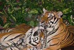 Tigers in captivity Stock Photo