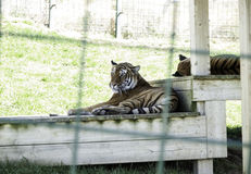 Tigers in captivity Stock Photos