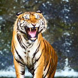 Tigers. Royalty Free Stock Image