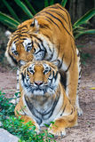 Tigers couple. Bengal tigers couple is playing on the ground Royalty Free Stock Photos