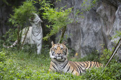 Tigers. Couple of tigers feel different Royalty Free Stock Photography