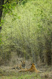 Tigers Courtship Royalty Free Stock Photo