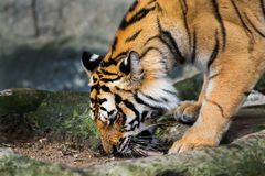 Tigers eat chicken Stock Images