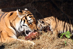 Tigers eating Stock Images