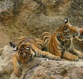 Tigers eating. Tigers at the tiger temple in Thailand's Kanchantaburi Province Stock Images