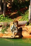 Tigers are on the edge of a pond in the woods. Stock Photography