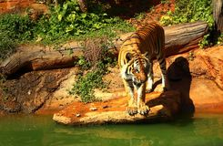 Tigers are on the edge of a pond in the woods. Stock Photo