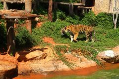 Tigers are on the edge of a pond in the woods. Royalty Free Stock Photo