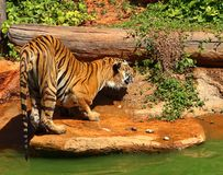 Tigers are on the edge of a pond in the woods. Royalty Free Stock Photography